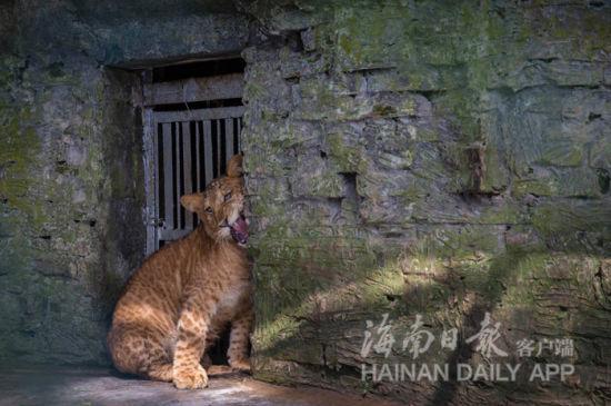 狮虎兽在游玩。海南日报记者宋国强摄