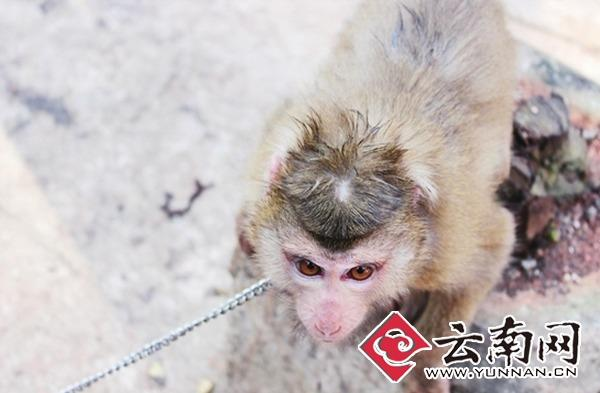 7只小猴中有一只是很酷的豚尾猴