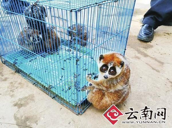 饲养场收养的蜂猴很心爱