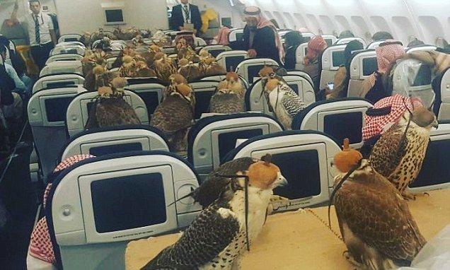 沙特王子为他的80只鹰买了飞机票,每只鹰价值约为两万美金,都安排坐在了客舱。