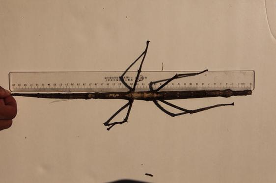 """1月30日,一只巨型竹节虫""""从天而降"""",现身普洱太阳河国家公园犀牛坪景区,虫体大小惊人,外形似""""钢铁战士"""",引来游人纷纷围观拍照。"""