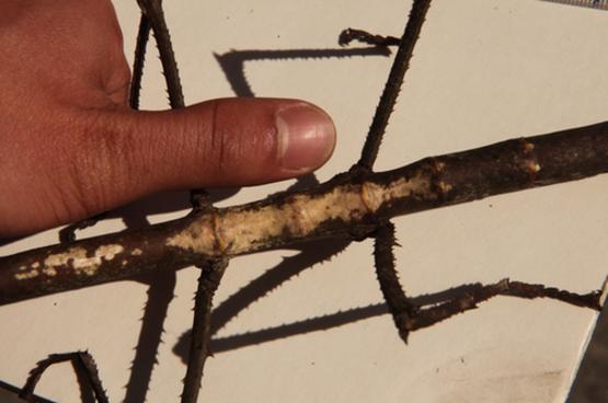 """云南普洱惊现巨型竹节虫形似""""钢铁战士"""" 体长超40公分体粗堪比成人大拇指"""