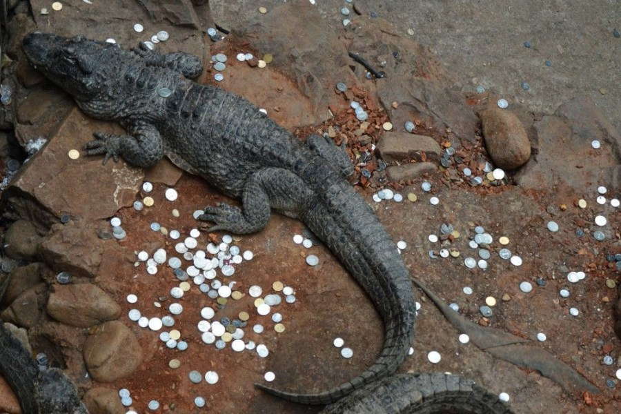 2017年1月31日,上海动物园,笔者在参观中发现,在扬子鳄鱼池和大鳄龟展览池中,被部分不文明游客投入多达上百枚的1元和5角的硬币,动物园竟然被当做了许愿池。(图片来源:东方IC/张波)