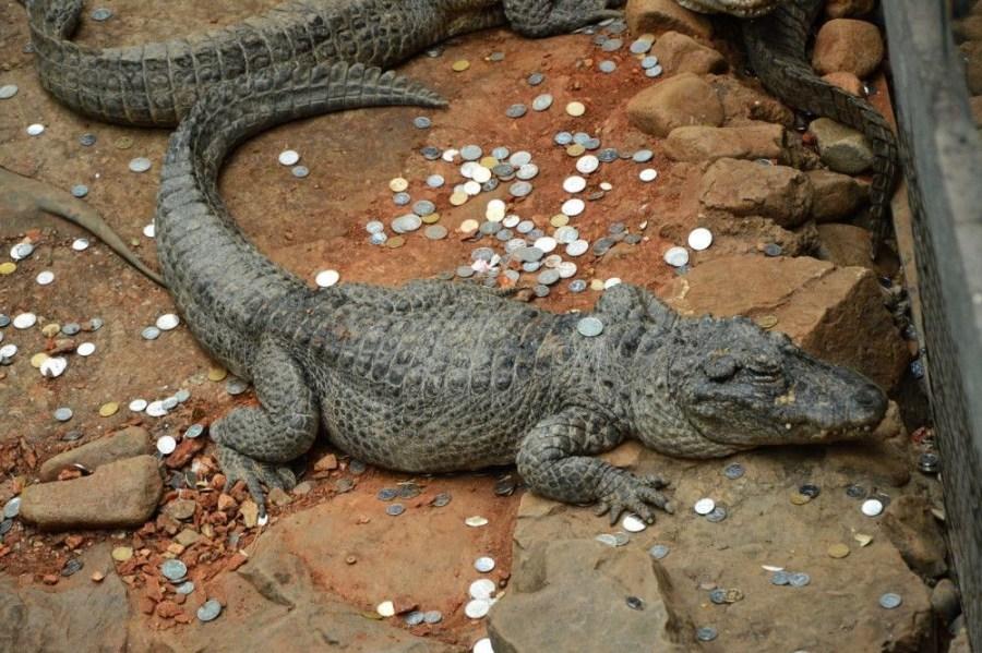 据悉,部分游客向动物池里投掷硬币是因为过春节、效仿寺庙,向长寿动物投硬币祈福。