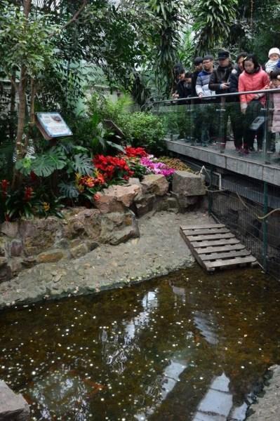 2017年1月31日,上海动物园,游客在大鳄龟展览池参观,被眼前的场景震惊。