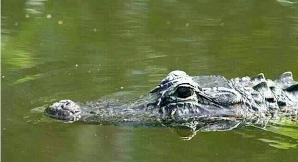 鳄鱼在浅水竟然站着走路 凶神恶煞的人设崩了(图)