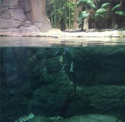 鳄鱼在浅水竟然站着走路 凶神恶煞的人设崩了