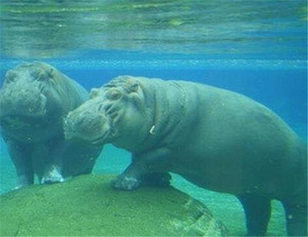 虽说鳄鱼站在水里的样子很蠢萌,但大家可千万别因此忽略了鳄鱼的危险性。