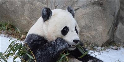 """旅美大熊猫""""宝宝""""22日返国,免费乘坐联邦快递波音777专机,从华盛顿直飞成都"""