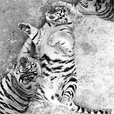 """近日,一组东北虎""""胖成气球""""的照片在网络走红,有微博网友晒出一组哈尔滨东北虎林园中东北虎的图片,图片中,有的老虎呈侧卧姿态,前肢蜷起,肚皮圆滚滚,如同吹起的气球,还有的老虎趴在地面上,胸脯隆起,垂下的肚子几乎贴到地面。"""
