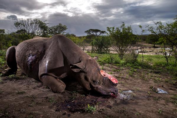 在克鲁格国家公园,这里有世界上最大的犀牛保护区。由于偷猎者为获得犀牛角而不断猎杀,使得犀牛这一珍惜物种越来越少。