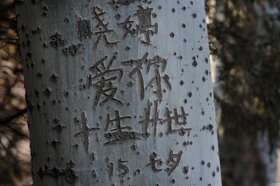 2017年2月12日,在沈阳新开河一沿河公园内,19棵树木先后被刻上了爱情辛酸史。眼下,马上又到情人节,园内的晨练者都对身边的树木感到担忧,因为这一天笠很可能还会来刻写他的爱情日记,这样又会毁掉一棵树。几年前,公园里便出现了一位在树上刻字留言的人,已造成多棵树木被毁。图为疑似叫笠的男子在15年七夕在树上刻的字:晓婷爱你一生一世。