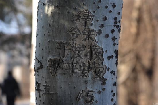 """观察这些刻在杨树上的文字,可以发现这位用情颇深的男子笠每到小年、大年、情人节、七夕,甚至是国庆这样的日子都会跑到这里抒发感情,刻下自己的内心感受。2015年8月3日,笠在这里刻下了""""婷生日快乐15.八三""""的字样。图为笠祝福婷平安夜平安。"""