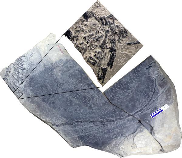 本研究发现的恐头龙化石;放大的部分为胚胎骨骼;比例尺为10厘米。