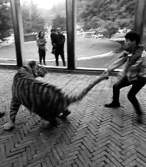 动物园饲养员被曝虐虎 回应称:观赏角度不同 并非挑逗