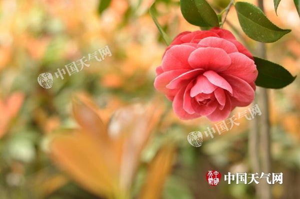 2月14日,江西南昌温暖如春,茶花盛开。(施洛洛 摄)