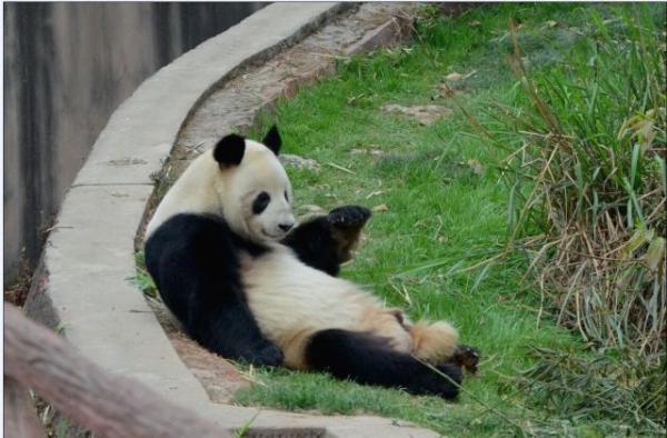 """大熊猫""""科比"""""""