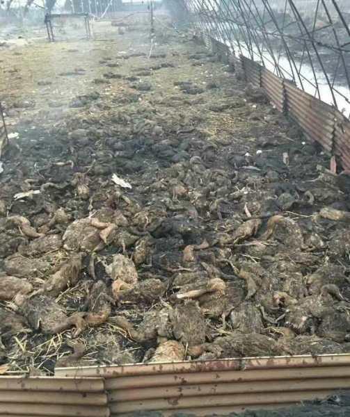 2月16日凌晨零时30分左右,辽阳太子河区范家屯村11个饲养蛋鸭的大棚发生火灾。