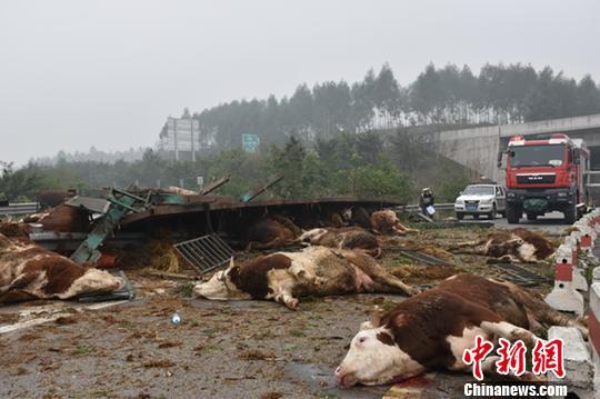 一辆满载48头牛的大挂车侧翻在匝道上。 黄华 摄