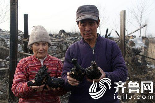 齐鲁网滨州2月20日讯 2月19日,山东滨州,在烧成一片废墟的鸽棚里,69岁的农民夫妻侯呈亮老两口捧着被烧焦的鸽子满面愁容。原来,2月18日,侯呈亮千余平方的养殖场被燃烧的荒草引燃,2000多只鸽子被烧死,损失近20万元。