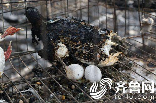 据了解,侯呈亮的鸽棚总计1000多平方,养殖了2000多只鸽子,时值鸽子孵化期,这一场火让他和老伴损失惨重。侯呈亮粗略估算,鸽子按照繁殖鸽销售130元一对,2000多只鸽子就损失了13万元,再加上即将孵化出的400余只雏鸽,存在鸽棚里的一年收获的粮食25000多斤,总体损失接近20万元。