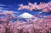 美艳!日本樱花季旅拍