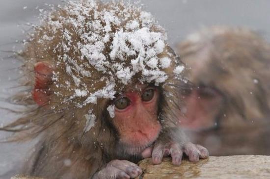 日本猕猴,又称雪猴