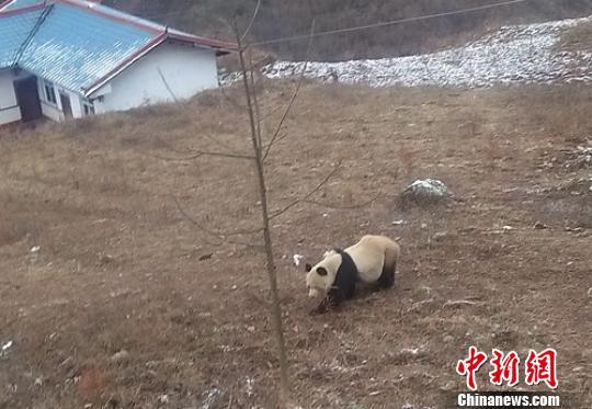 峨边再次发现野生大熊猫。 钟欣 摄