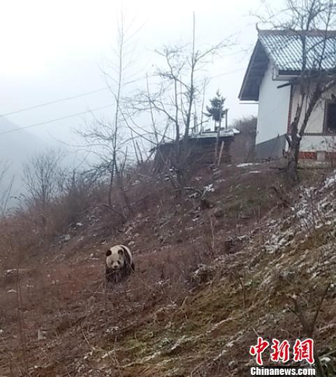 大熊猫慢慢离开。 钟欣 摄