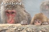 被袭击!世界唯一猴子温泉