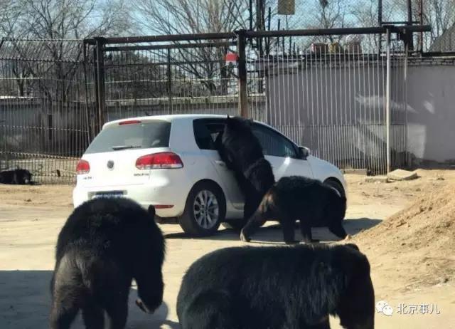 北京野生动物园轿车遭黑熊围堵熊爪伸进车内