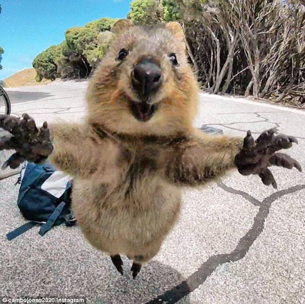 """【环球网综合报道】据英国《每日邮报》2月26日报道,近日,来自澳大利亚西澳洲Landsdale地区的坎贝尔・ 琼斯(Campbell Jones)抓拍了一张短尾矮袋鼠的可爱近照。照片上,这只小家伙奋力跃起,嘴角绽开大大的笑容,张开双臂对着镜头,仿佛在说:""""请给我一个拥抱!"""""""