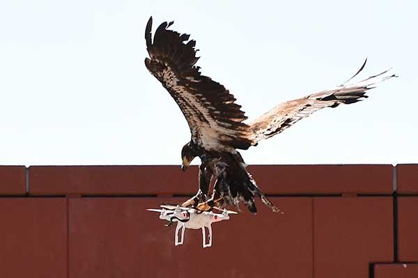 荷兰警方训练老鹰捕捉无人机。视觉中国 资料