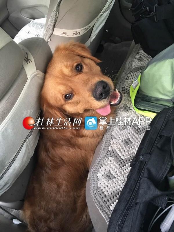"""会""""报警""""的金毛狗坐在警车上等候帮助。桂林生活网 图"""