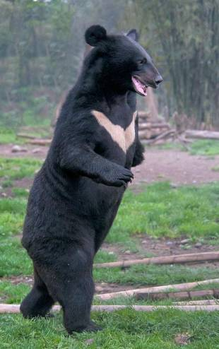 亚洲黑熊 图据网络