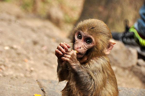 男子买猕猴当宠物因非法收购濒危野生动物获刑