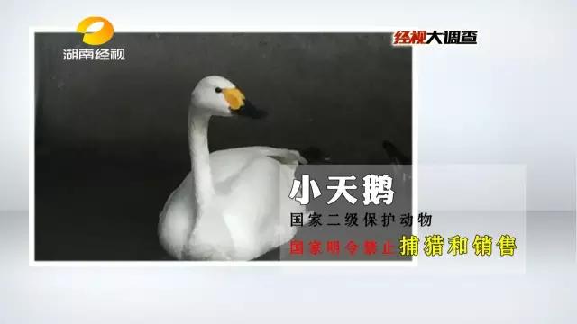 活体小天鹅被梁老板1000元卖出,梁老板向爱鸟人士透露,如果想在野味店吃掉,还需要再交纳200元手工费。
