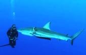 巴哈马潜水者解救被束白鲨