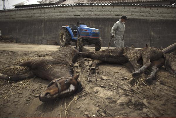 2011年4月7日,日本福岛县,当地人清理死去牲畜的尸体。福岛第一核电站方圆20公里范围内居民撤离后,多数农户匆匆扔下家畜,多日未加照料,如今,核电站方圆20公里大约1万头牛中大多数可能已经死亡,其他家禽家畜也死亡数以千计。 视觉中国 资料图