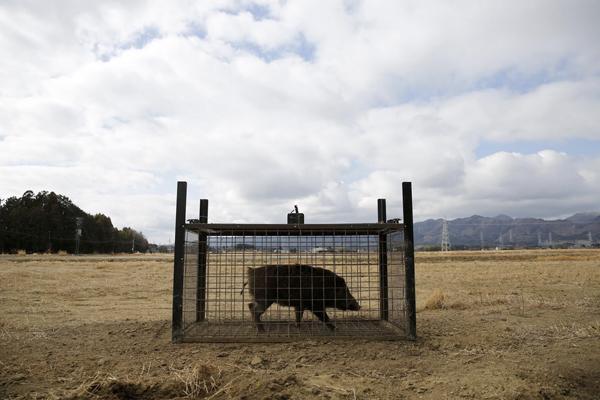 目前,安室奈美惠镇上有专业的猎猪小队,大约13个人的捕猪小队用空气猎枪捕杀四处乱窜的野猪。