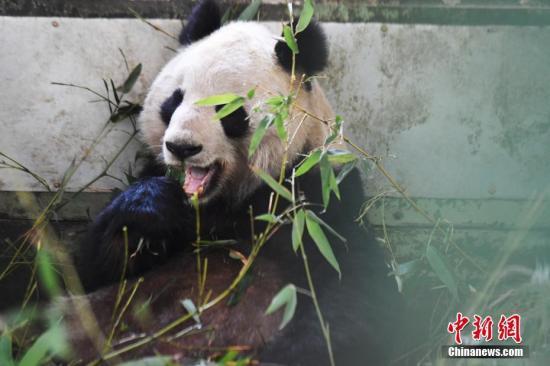 """大熊猫""""蜀兰"""" 中新社 资料图"""