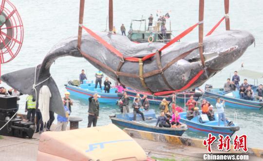 抹香鲸被吊机吊起 康孝娟 摄