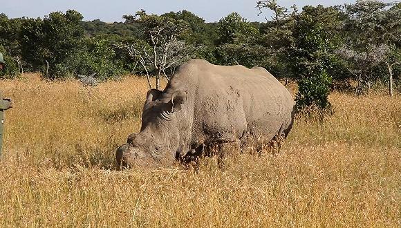 被运往肯尼亚保护区的其中一头北方白犀牛。来源:维基百科