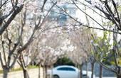 上海樱花节开幕却无樱花