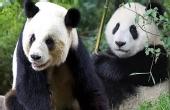 熊猫卖萌耍帅有绝招