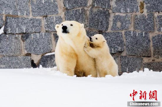 """当地时间3月15日,芬兰一野生动物园内,北极熊母亲带着她的幼崽第一次在户外亮相。小北极熊第一次在雪中玩耍,跟母亲""""求抱抱""""。"""