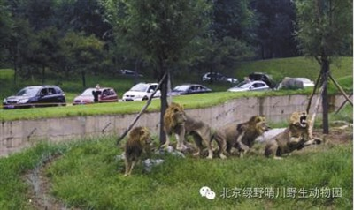 在动物园自驾区官方介绍资料图片中显示,一条壕沟将游客与猛兽隔离开。受访者供图
