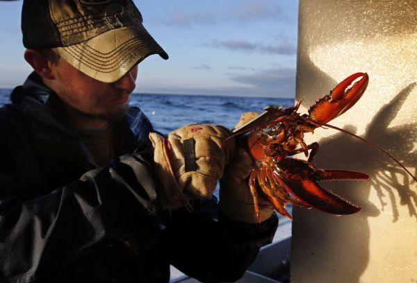 在美国缅因州蒙希根岛附近海域的一艘捕龙虾船上,一名男子测量龙虾的尺寸。新华社/美联