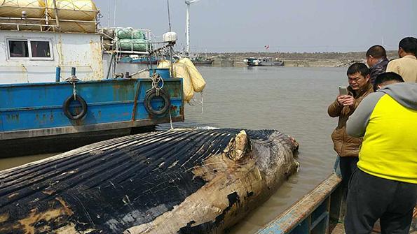 死亡鲸鱼已高度腐烂。澎湃新闻记者 周航 图