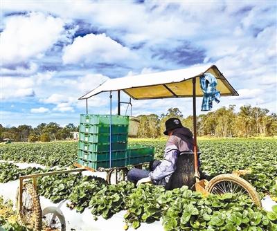 白先生在澳大利亚的农场工作